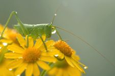 Free A Green Grasshopper Stock Photos - 5539403