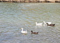 Free Ducks And Geese 2 Royalty Free Stock Photography - 55338697