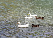 Ducks And Geese Stock Photo