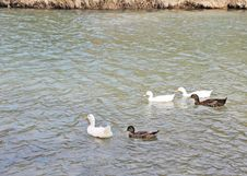 Ducks And Geese 2 Royalty Free Stock Photography