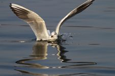 Common Seagull Splashing Water Royalty Free Stock Photography