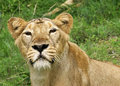 Free Lioness In Close View Stock Photo - 5541860