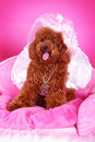 Free Toy Poodle Stock Photography - 5542652