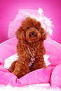 Free Toy Poodle Royalty Free Stock Images - 5542749