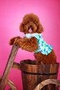 Free Toy Poodle Stock Photos - 5543193