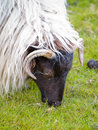 Free Irish Sheep Stock Photos - 5543313