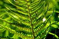 Free Detail Of A Fern Royalty Free Stock Photo - 5548455