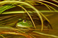 Free Green Frog In Pond Stock Photos - 5548873