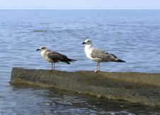 Free Gull Royalty Free Stock Photos - 5540488