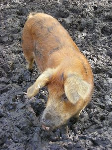 Free Pig In Mud Royalty Free Stock Image - 5540546