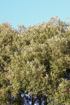 Free Mediterranean Vegetation Against Blue Sky Royalty Free Stock Images - 5540699