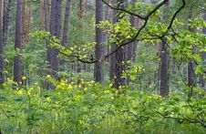 Free The Spring Forest Landscape Royalty Free Stock Images - 5541339