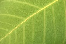 Free Green Leaves Detail Royalty Free Stock Photo - 5541995