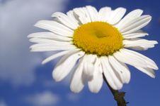 Free White Daisy Royalty Free Stock Image - 5542126
