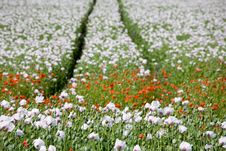 Free Poppy Field Stock Images - 5542364