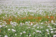 Free Poppy Field Stock Photo - 5542390