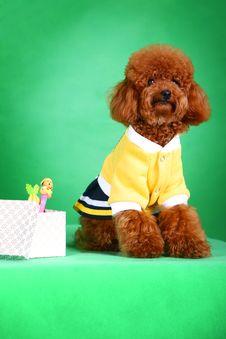 Free Poodle Stock Image - 5542441