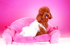Free Toy Poodle Royalty Free Stock Images - 5542479