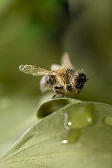 Free Macro Bee Stock Photography - 5542502