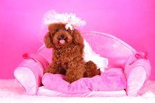 Free Toy Poodle Stock Photos - 5542503