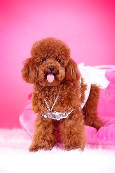Free Toy Poodle Royalty Free Stock Photos - 5542508