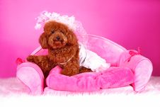 Free Toy Poodle Stock Photography - 5542612