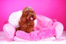 Free Toy Poodle Stock Photos - 5542613