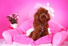 Free Toy Poodle Stock Photography - 5542712