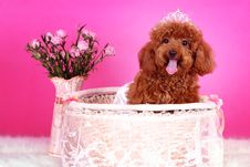 Free Toy Poodle Royalty Free Stock Photography - 5542787
