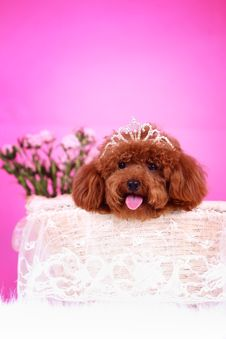 Free Toy Poodle Royalty Free Stock Images - 5542899