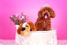 Free Toy Poodle Royalty Free Stock Image - 5542916