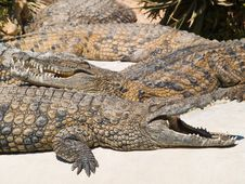 Free Two Crocodiles Stock Photography - 5542932