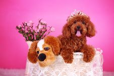 Free Toy Poodle Royalty Free Stock Images - 5542939