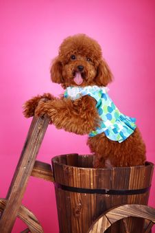 Free Toy Poodle Stock Photos - 5543193