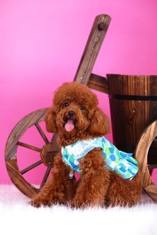 Free Toy Poodle Stock Photo - 5543210