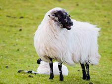 Free Irish Sheep Royalty Free Stock Photography - 5543237