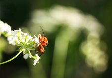 Free Red Bug On White Flower Royalty Free Stock Images - 5543299