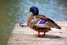 Free Duck On The Marina Royalty Free Stock Photo - 5543585