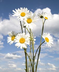 Free Daisy On Sky Background Royalty Free Stock Photos - 5543938