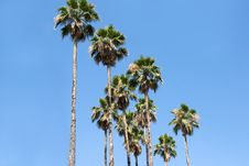 Free Palm Tree Royalty Free Stock Image - 5544056