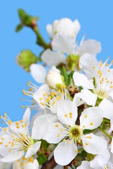 Free Cherry Flowers Stock Image - 5544631