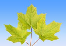 Free Maple Leaves Royalty Free Stock Photos - 5544948