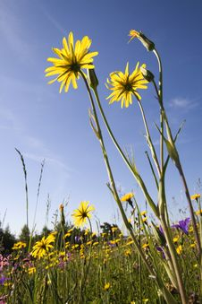 Free Yellow Flowers Royalty Free Stock Images - 5545029