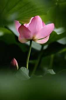 Free Pink Lotus Royalty Free Stock Image - 5545326