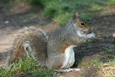 Squirrel With Nut Stock Image