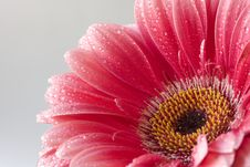 Free Pink Daisy Stock Image - 5546681