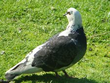Free PIGEON Royalty Free Stock Photo - 5547005
