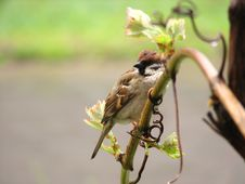 Free Sparrow Bird Sitting On Branch Stock Photography - 5548132