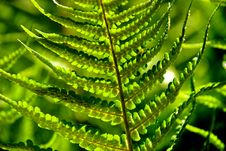 Detail Of A Fern Royalty Free Stock Photo