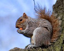 Free Squirrel Tries To Bite In Hazel-nut Stock Photos - 5548833